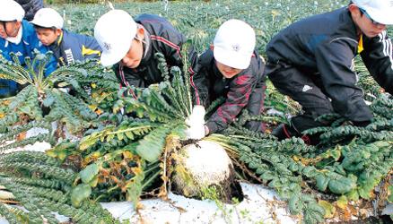 桜島大根の収穫体験